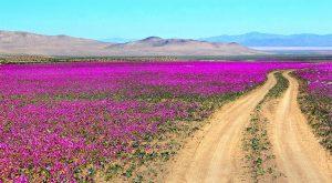 Route dans un désert en fleurs