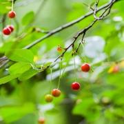 Branche et fruits