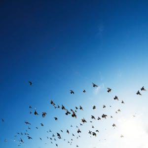 Oiseaux en vol par Rowan Heuvel (unsplash.com)